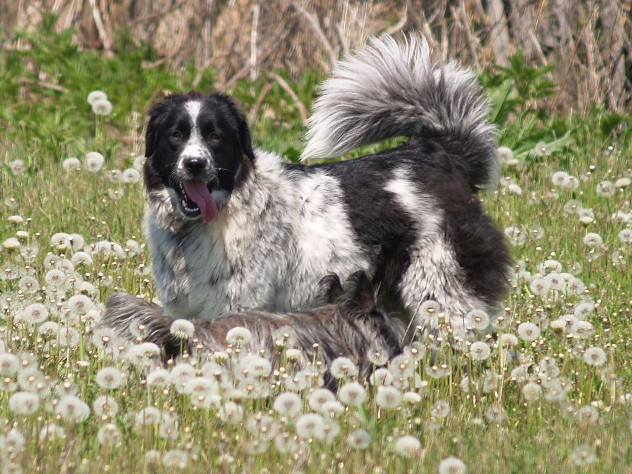 This is one of my Karakachan (Bulgarian Shepherd) Dogs ...