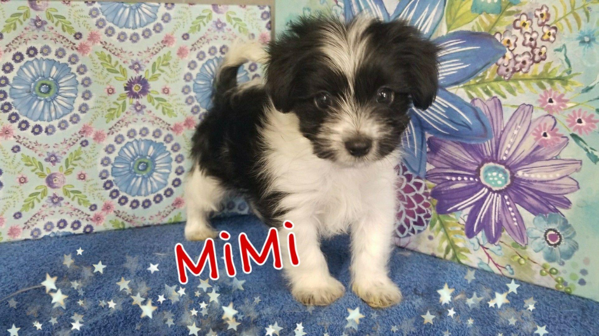 Adopt Mimi On Homeless Pets Help Homeless Pets Shih Tzu Puppy