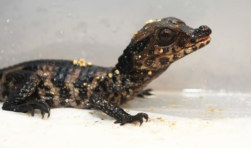 Hey Man It S A Baby Caiman Zooborns Zooborns Newborn Animals Cute Baby Animals