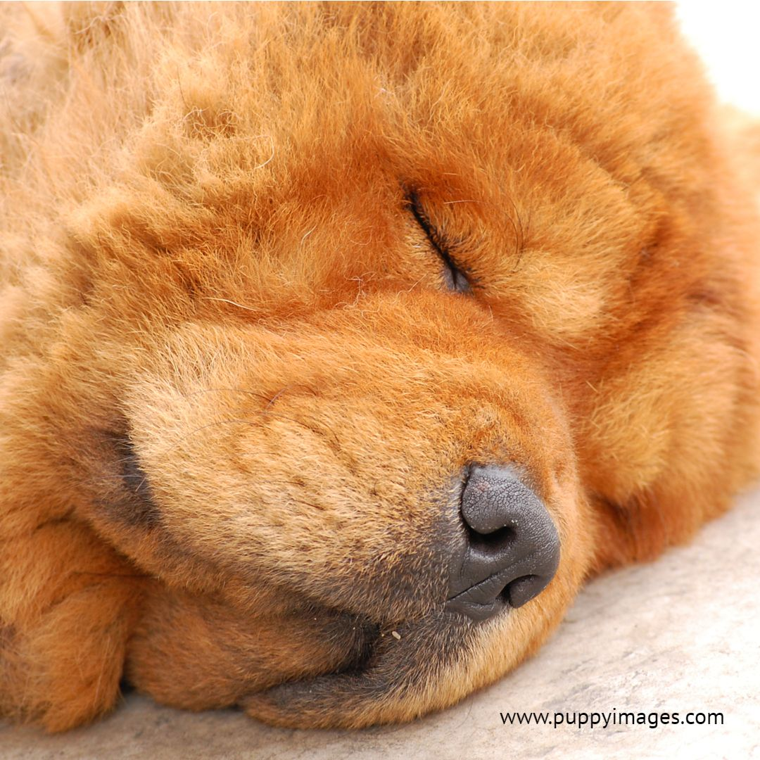 Chow Chow Dog Sleeping On A Carpet Sleeping Dogs Chow Chow Dogs