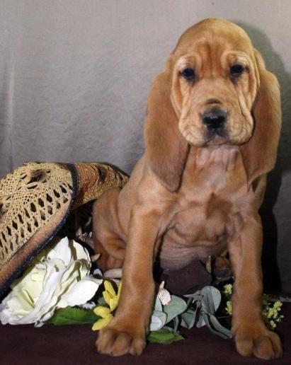 Baby Girl Dixie Bloodhound Puppies Grand Dog Bloodhound