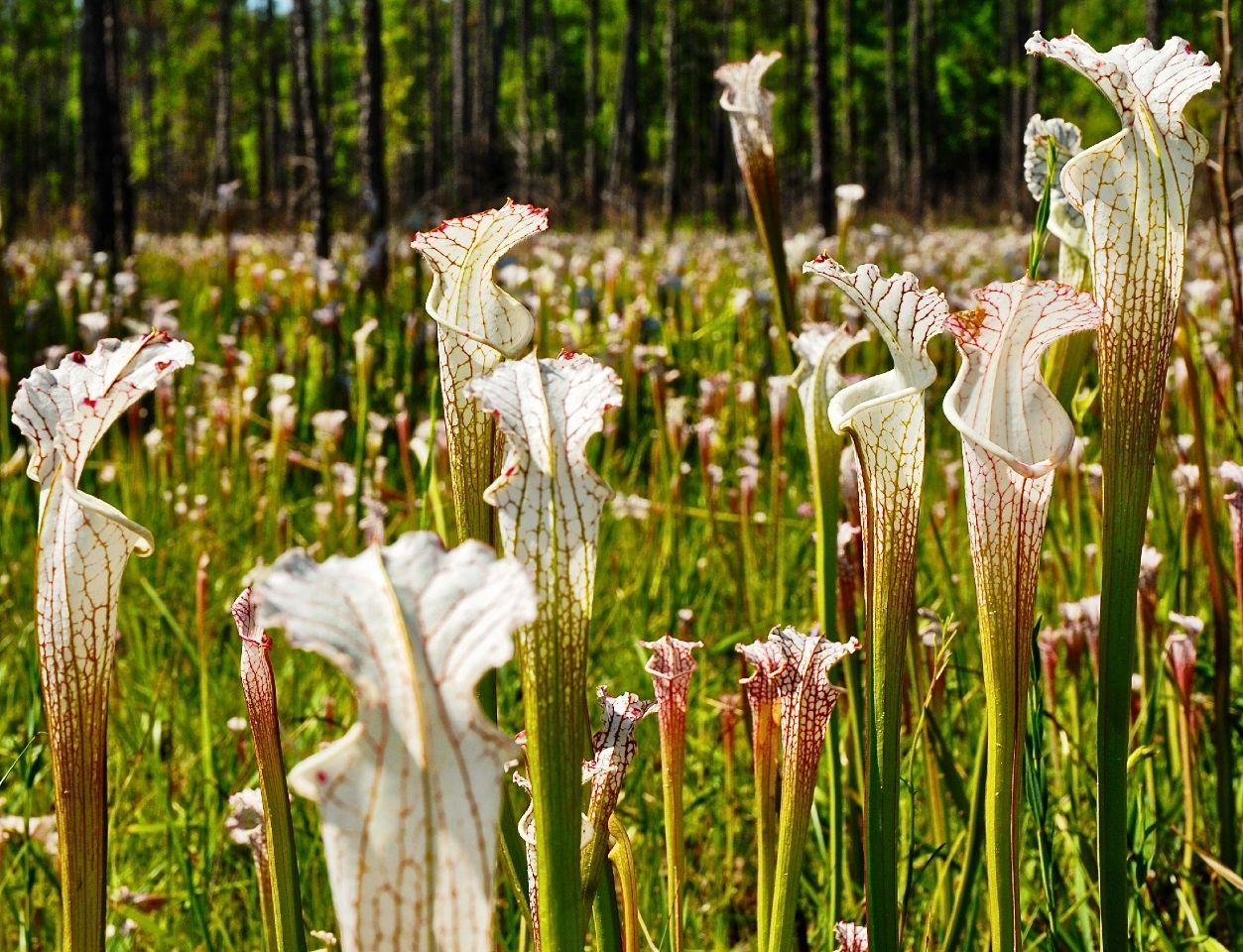 Curiousbotanicals Carnivorous Plants Weird Plants Plant Fungus