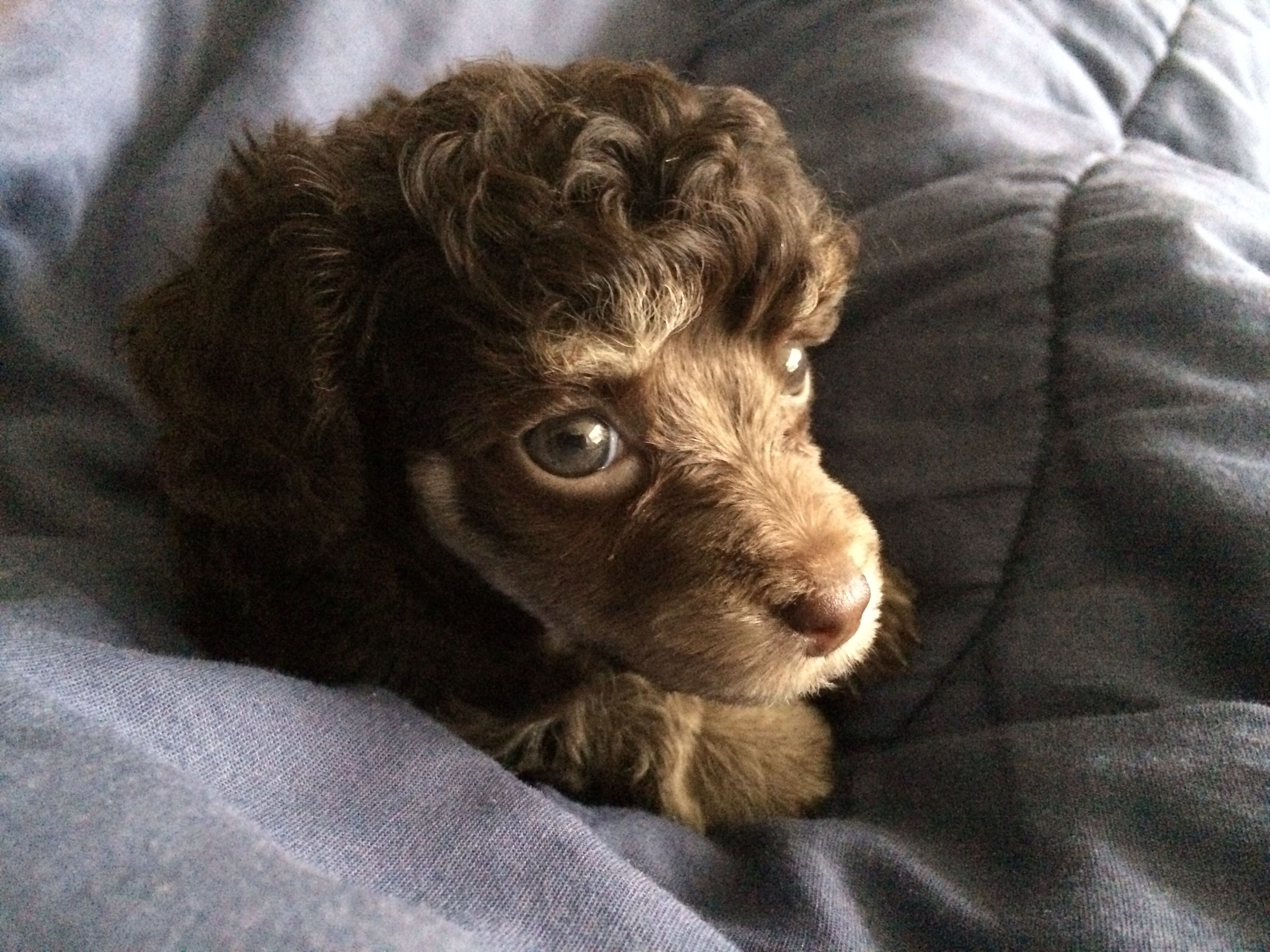 My Chocolate Phantom Toy Poodle Puppy Bella At 8 Weeks Old
