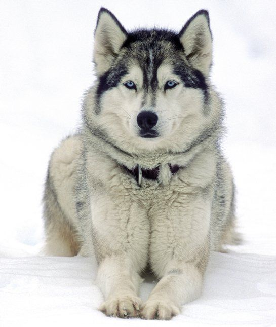 10 Cool Facts About Siberian Huskies Cute Husky Siberian Husky