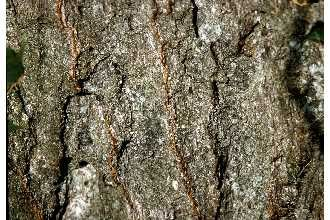 Photo Of Quercus Imbricaria Michx Shingle Oak Takes Its Name