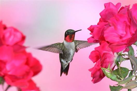 pin by bobbie on fℓуιиg נєωєℓѕ pinterest hummingbird