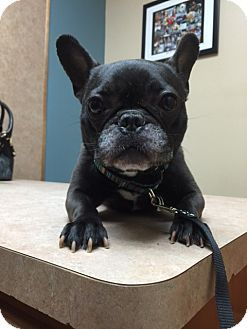 Atlanta Ga French Bulldog Meet Gladys A Dog For Adoption