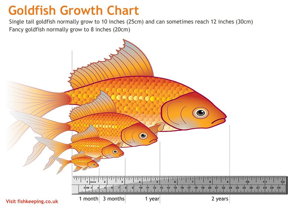 Pretty Accurate Size Chart For Goldfish Pets Fish Goldfish Pond