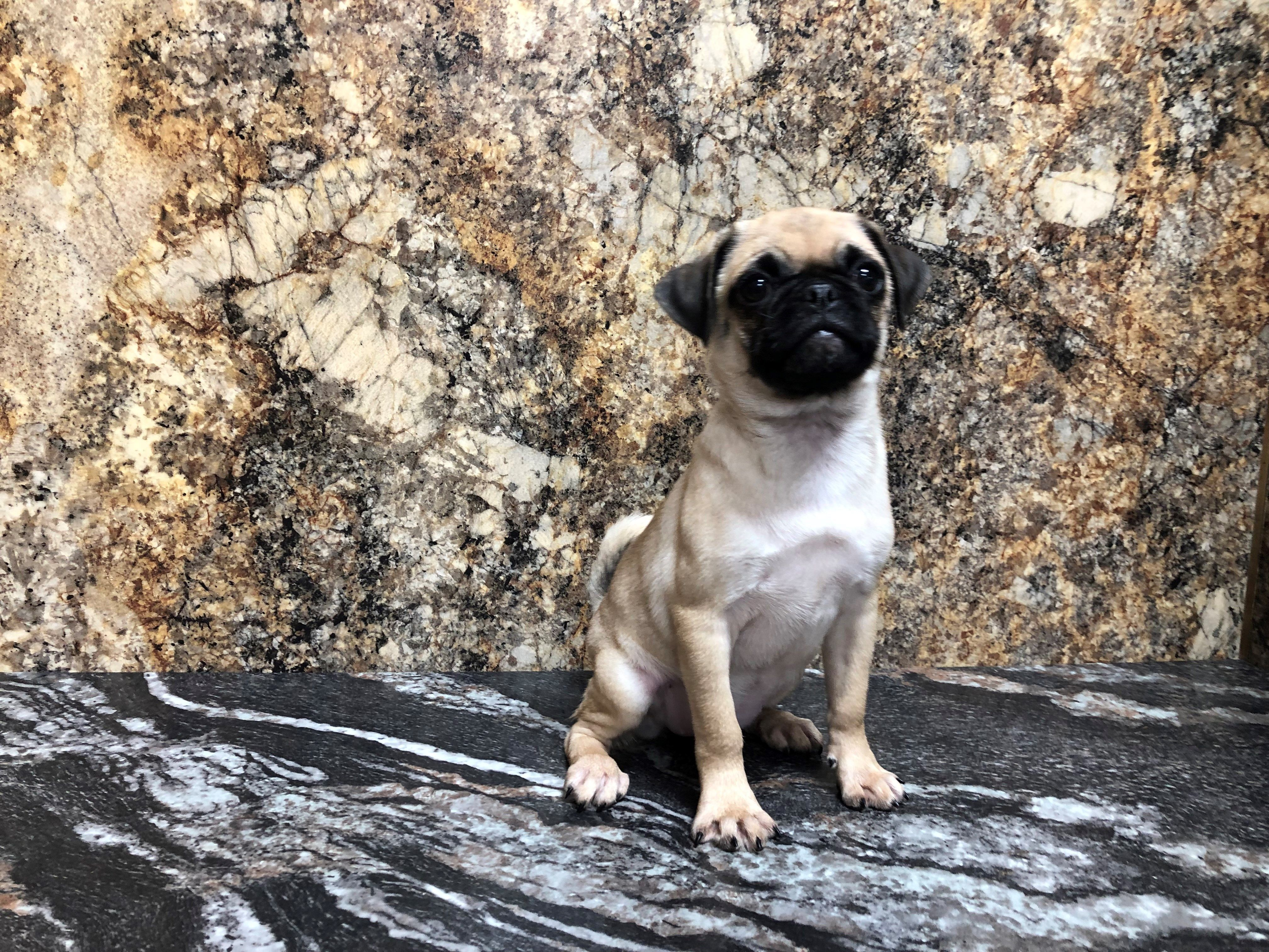 Petland Kansas City Has Pug Puppies For Sale Check Out All Our