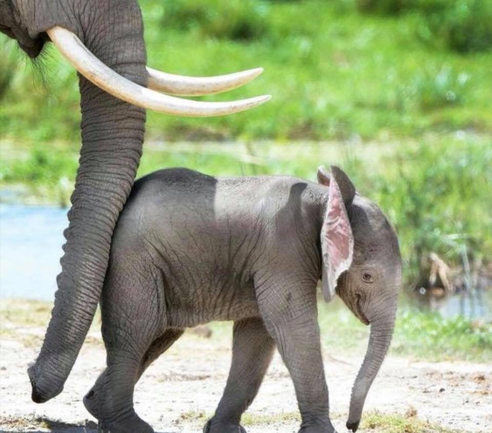 Pin de Bonifacia en Mamis | Pinterest | Elefantes, Elefante africano ...