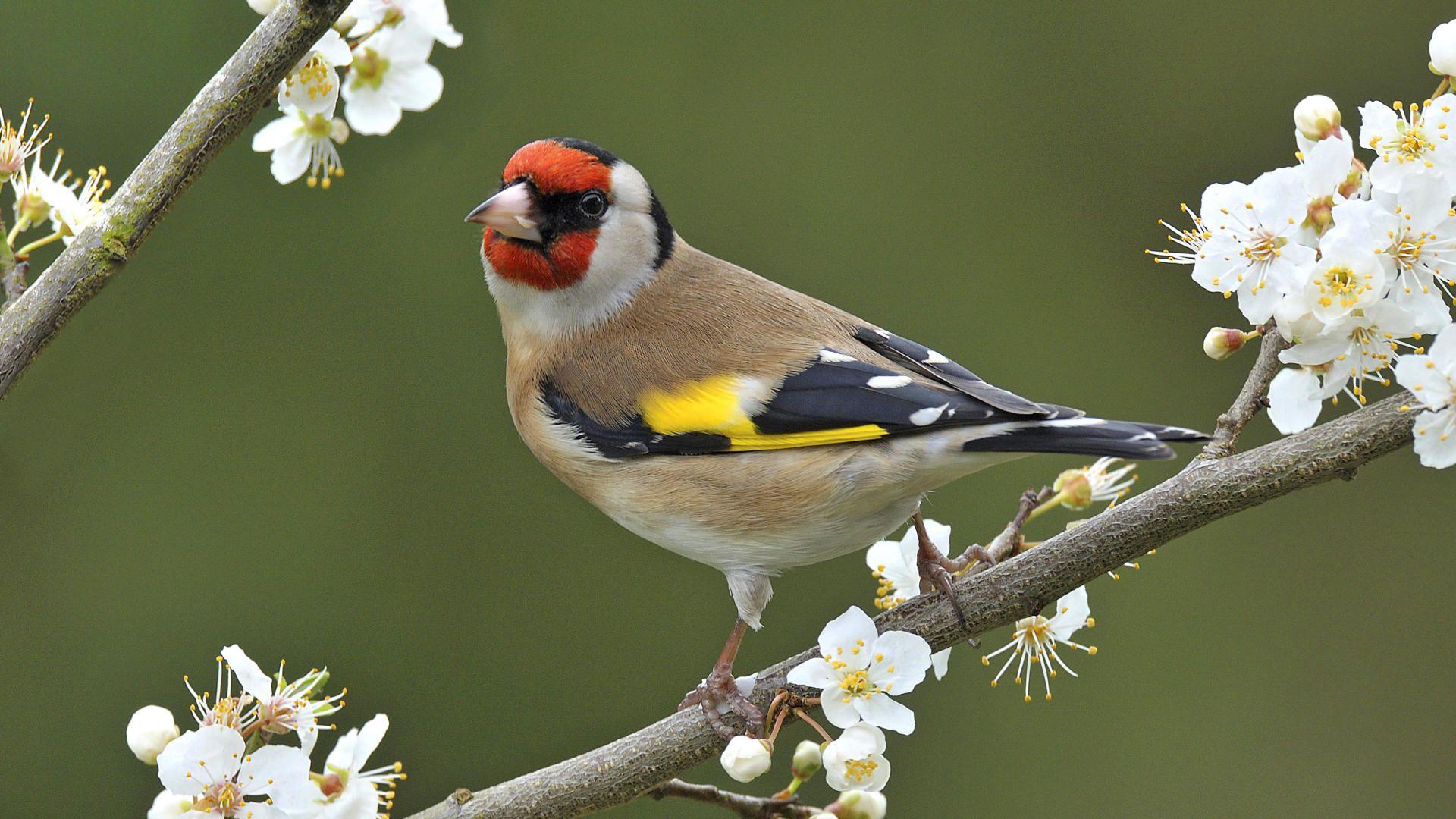European Goldfinch Wallpaper Goldfinch Beautiful Birds Birds