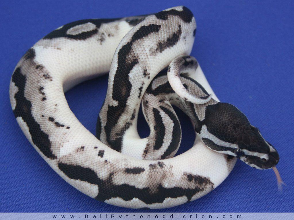 Pin By Miranda Rainey On Reptiles Ball Python Morphs