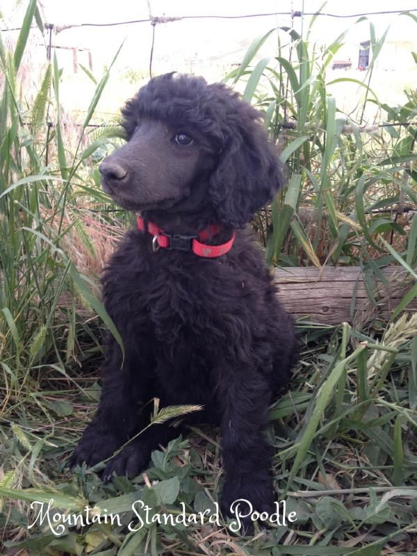 Red Buddy A Blue Standard Poodle Puppy He Is 7 Weeks Old His