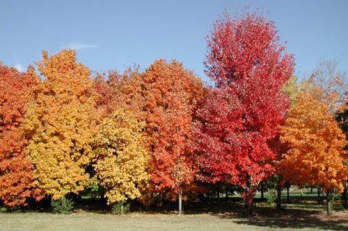 alberi di acero