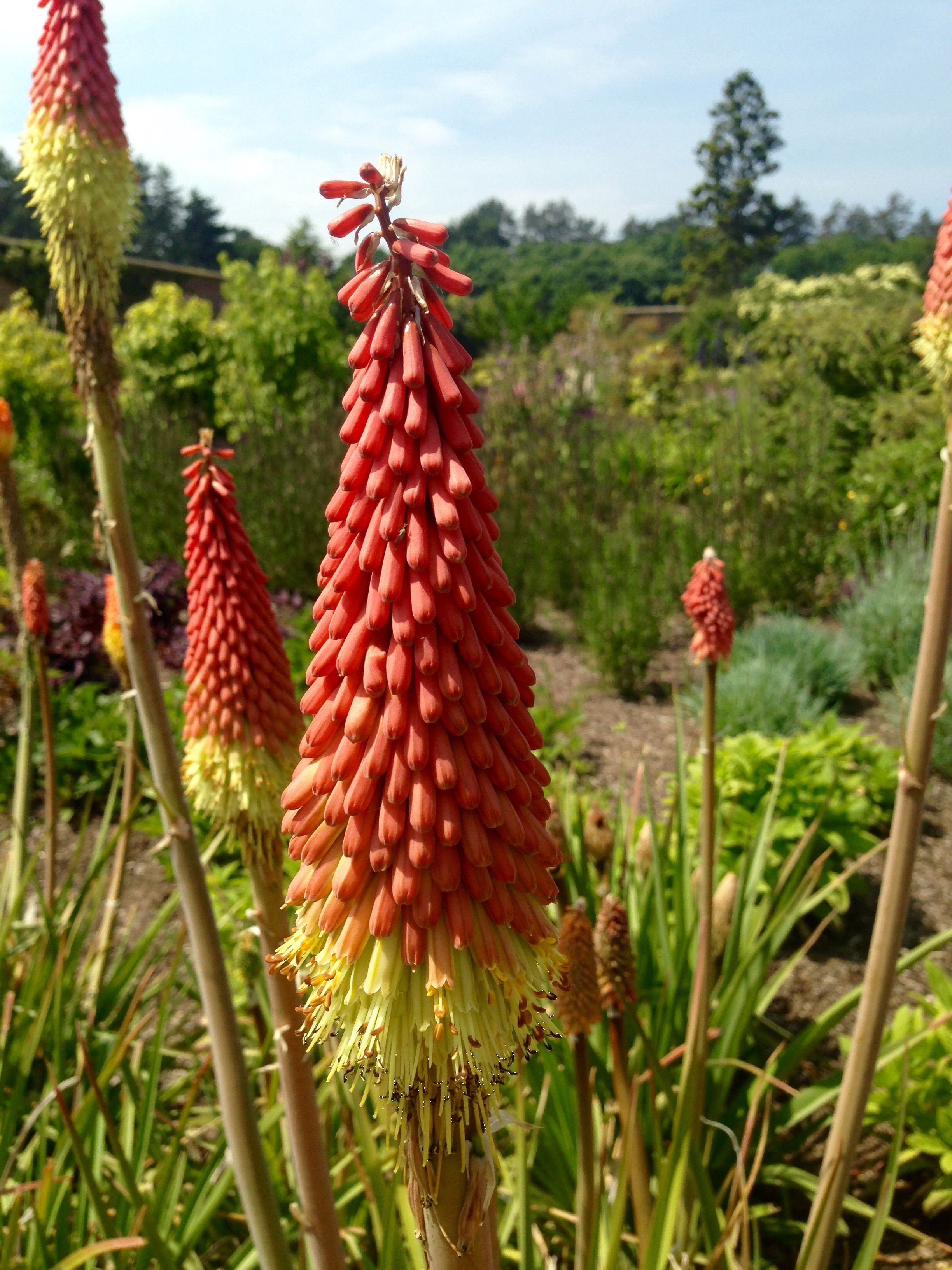Red Hot Pokers in the Walled Garden at Holkham Hall in
