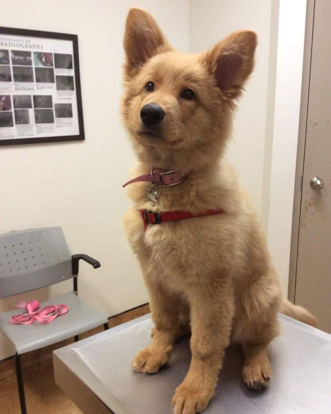 Look At This Golden Retriever And German Shepard Mix Shepherd Puppies Mixed Breed Dogs Retriever Puppy