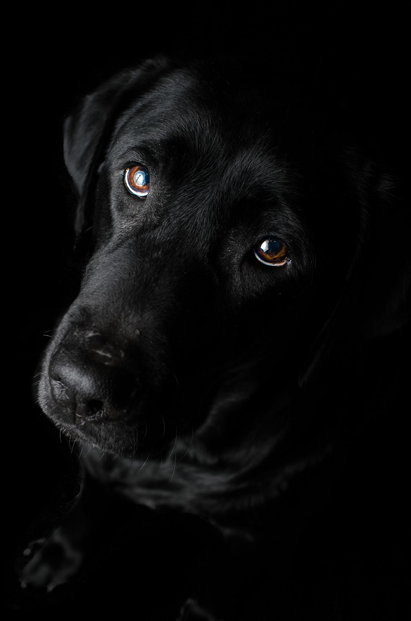 Abby 49.53 Black is beautiful #labradorretrieverpuppies