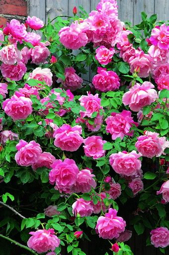 Madame Gregoire Staechelin Rose Old Climber Roses Uk Beautiful Roses Climbing Roses Beautiful Flowers