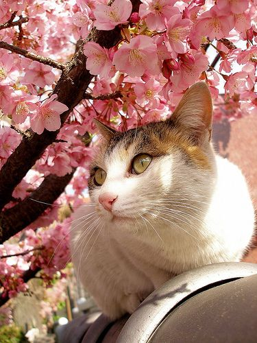 Cat Under The Cherry Blossoms 1 Cats Pretty Cats Beautiful Cats
