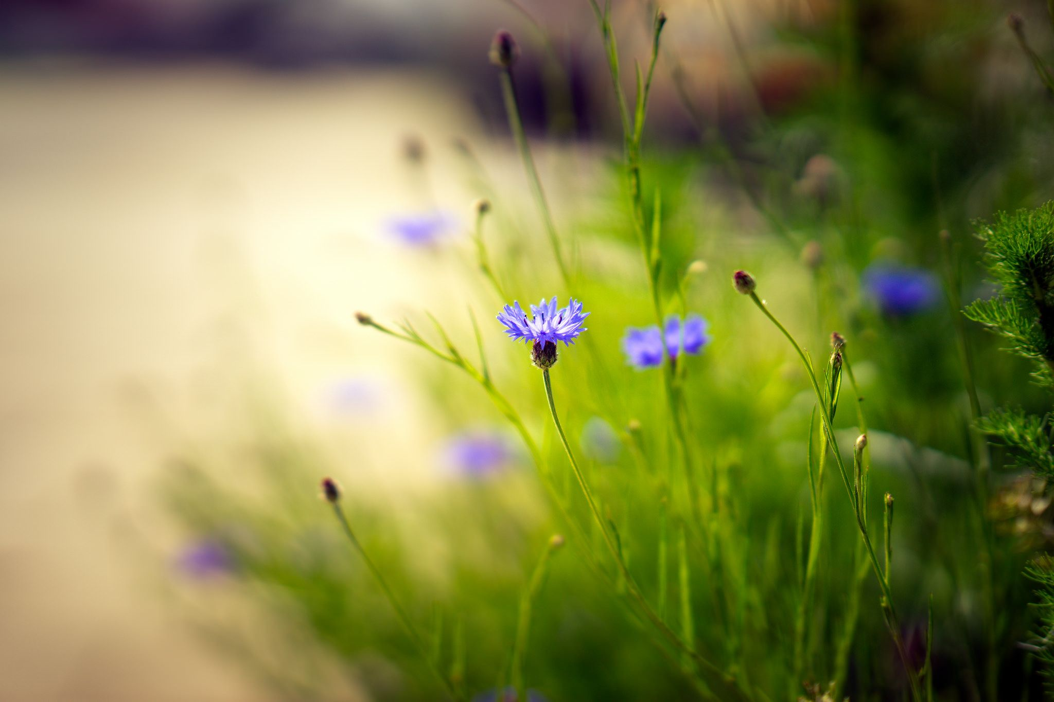 Soft Focus Purple Wild Flowers Photography Full Hd Wallpaper Desktop