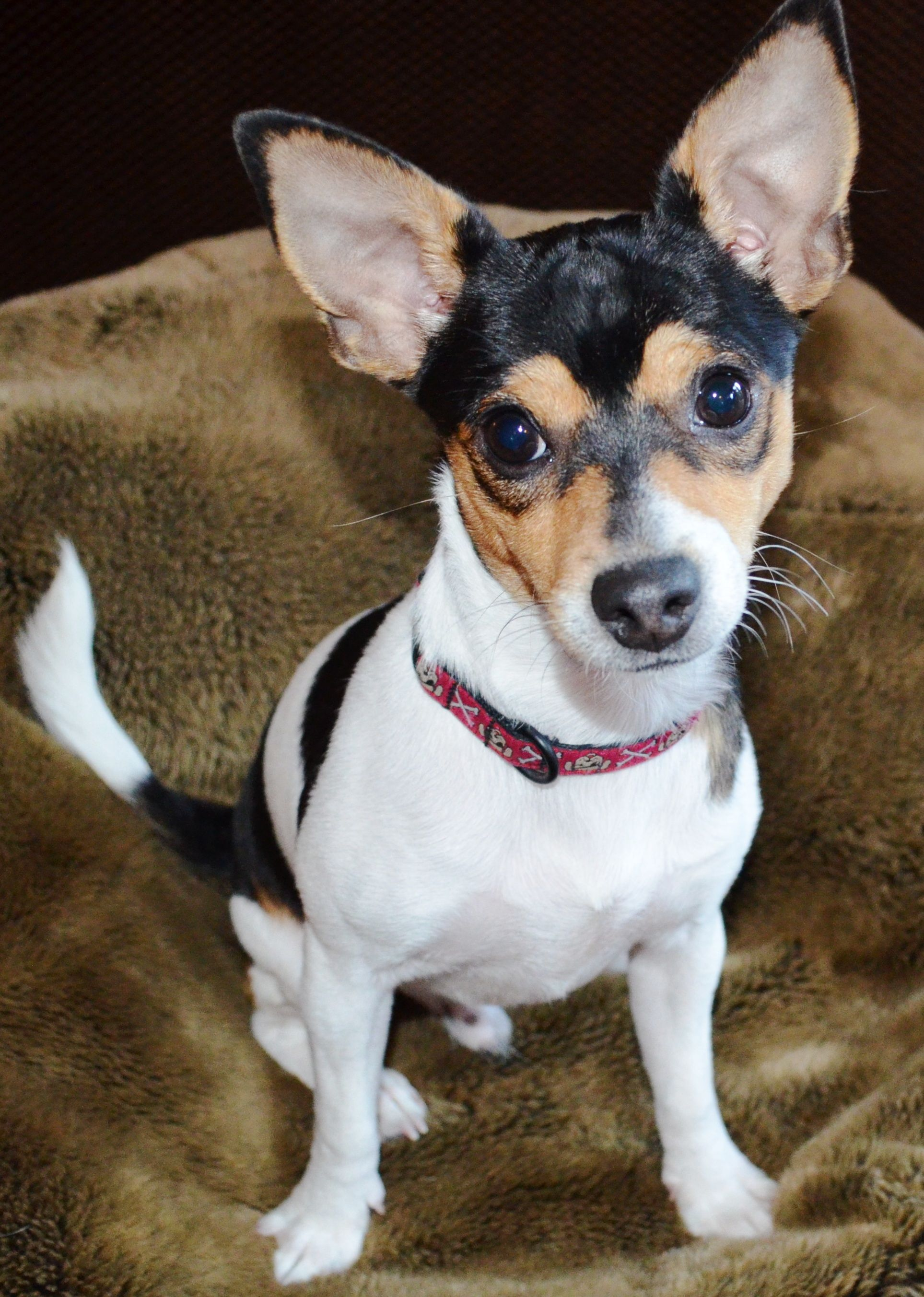 Rat Terrier Chihuahua Mix So Sweet