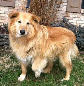Meet Mcbubba A Petfinder Adoptable Golden Retriever Dog