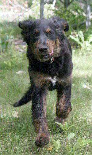 Golden Mountain Dog Golden Retriever Bernese Mountain Dog Golden Mountain Dog Mountain Dog Breeds Golden Retriever Mix Puppies