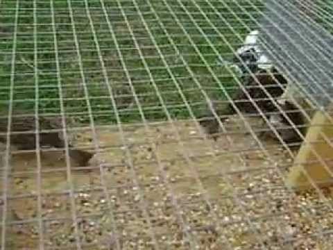 sparrow trap | Chicken coop | Pinterest | Coops