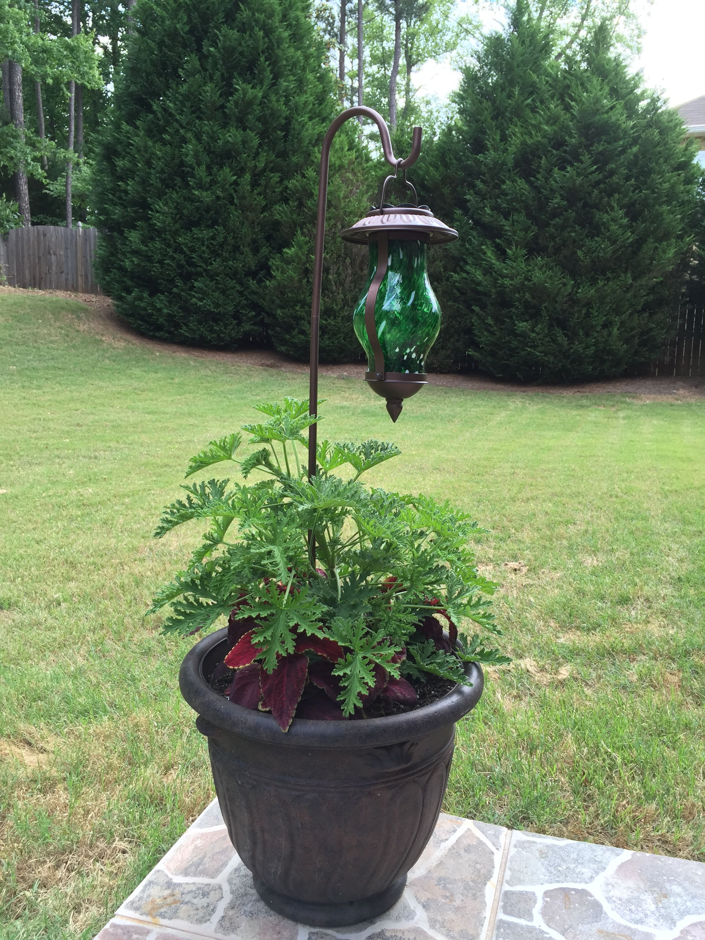 Two Things Citronella Plant Repels Mosquitoes And The Planter