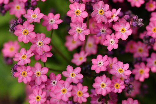Pink forget me nots forget me not pinterest forget and flowers pink forget me nots mightylinksfo