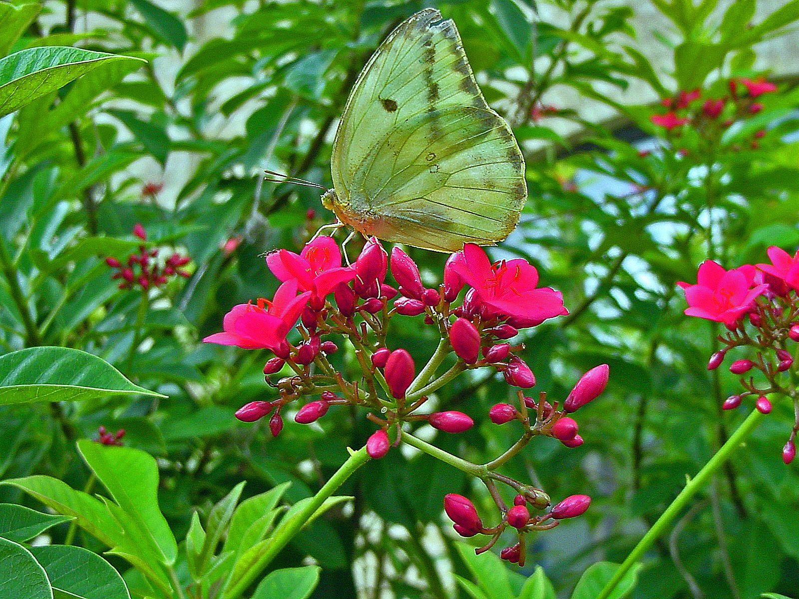 Attracting Butterflies To Your Miami Garden   The 16 Best Butterfly  Attracting Plants For South Florida