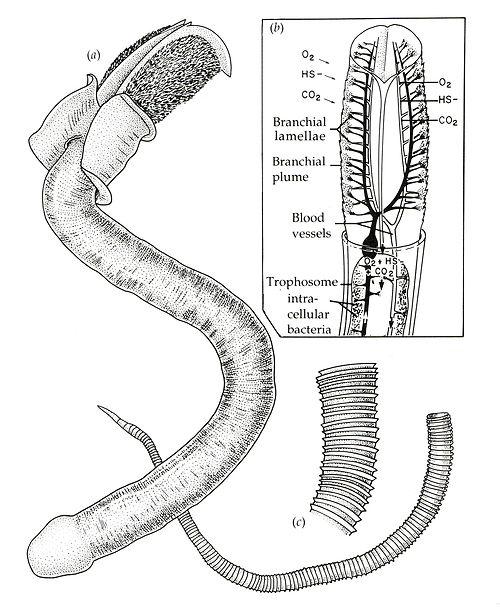 tube worm | diagrams | Pinterest