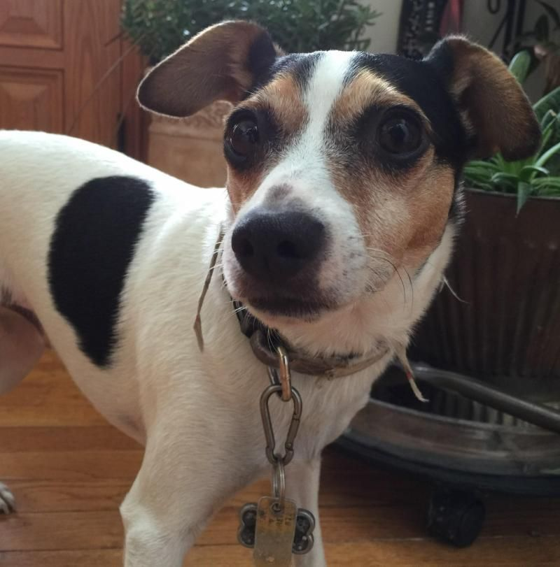 Adopt BARNEY PA on Rat terrier dogs, Rat terriers