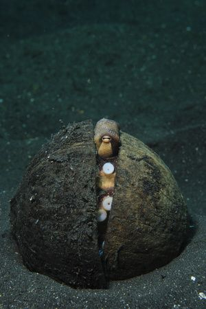 A Coconut Octopus, Lembeh Strait, Sulawesi, Indonesia