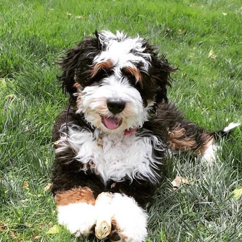 Sugarberry Bernedoodles In Arizona Find Your Bernedoodle Puppy Good Dog In 2020 Bernedoodle Puppy Bernedoodle Pretty Dogs