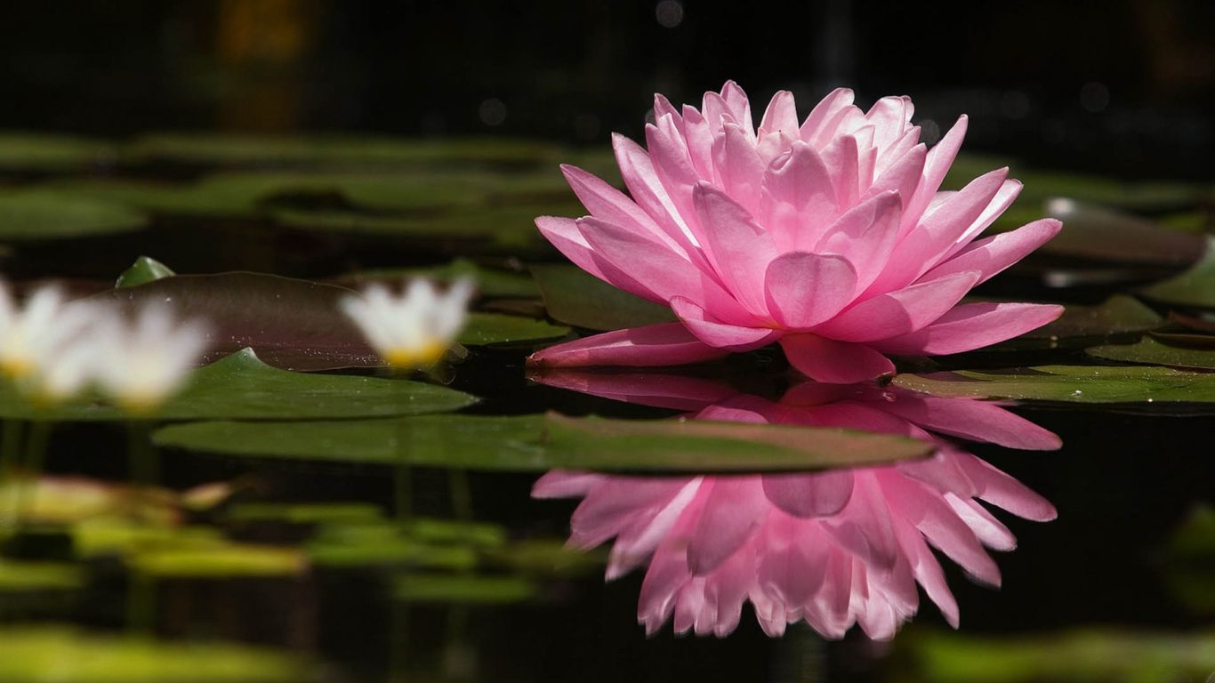 1366x768 Wallpaper Lotus Flower Water Lilies Swamp