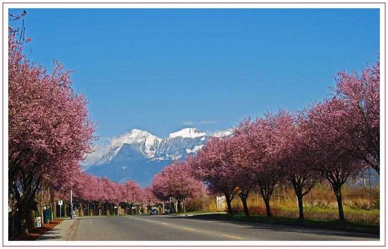 Cherry Blossom Time Chilliwack British Columbia British Columbia Chilliwack North America