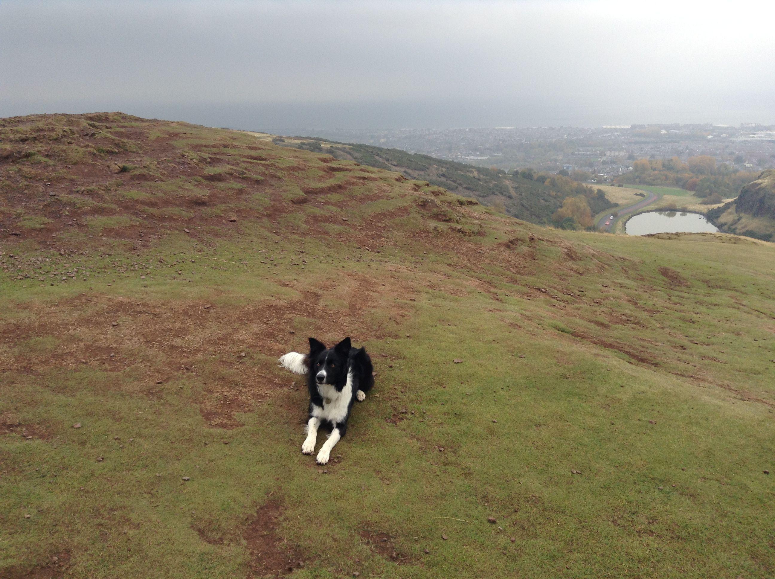 Bordercollie Scotland Holidaywalks Arthursseat Sheepdog Puppy