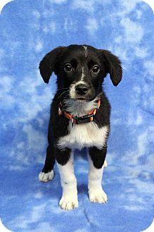 Westminster Co Border Collie Mix Meet Darla A Puppy For Adoption Http Www Adoptapet Com Pet 17086833 West Border Collie Collie Puppy Adoption