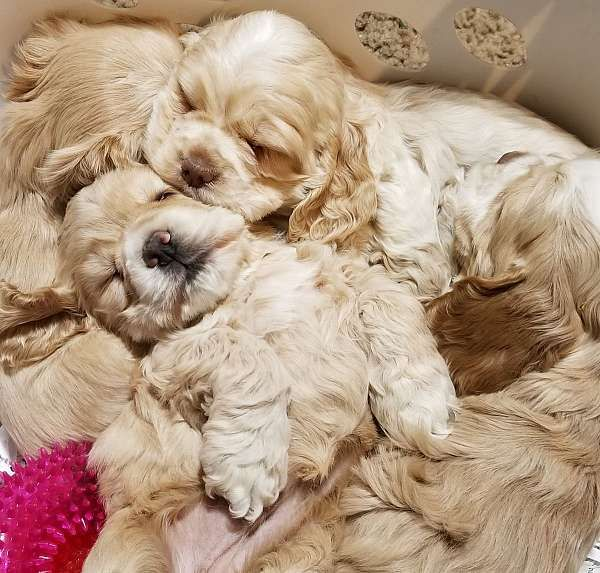 List A Dog For Sale Cocker Spaniel Puppies Spaniel Puppies Clumber Spaniel Puppy