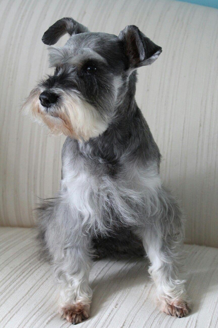 Miniature Schnauzer Smart And Obedient Miniature Schnauzer Schnauzer Puppy Schnauzer