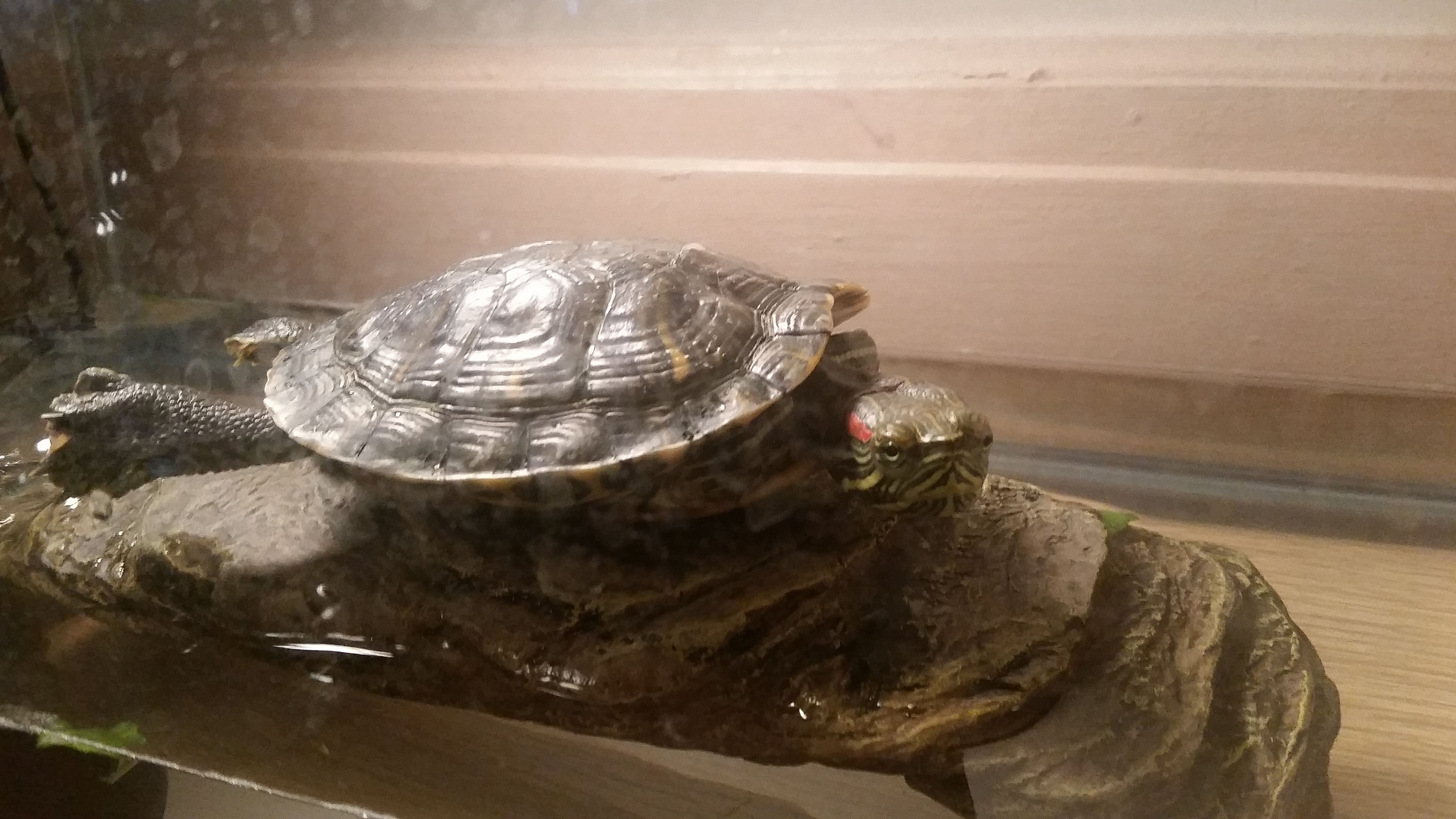 I adopted a Red Eared Slider turtle who had suffered 15 YEARS of