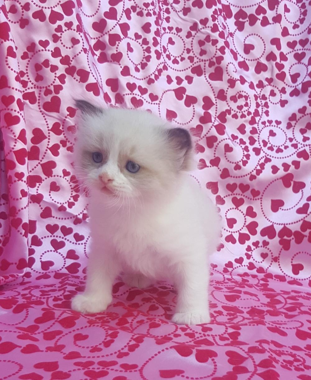Available Ragdoll Kittens Ragdollkittens Available Ragdoll