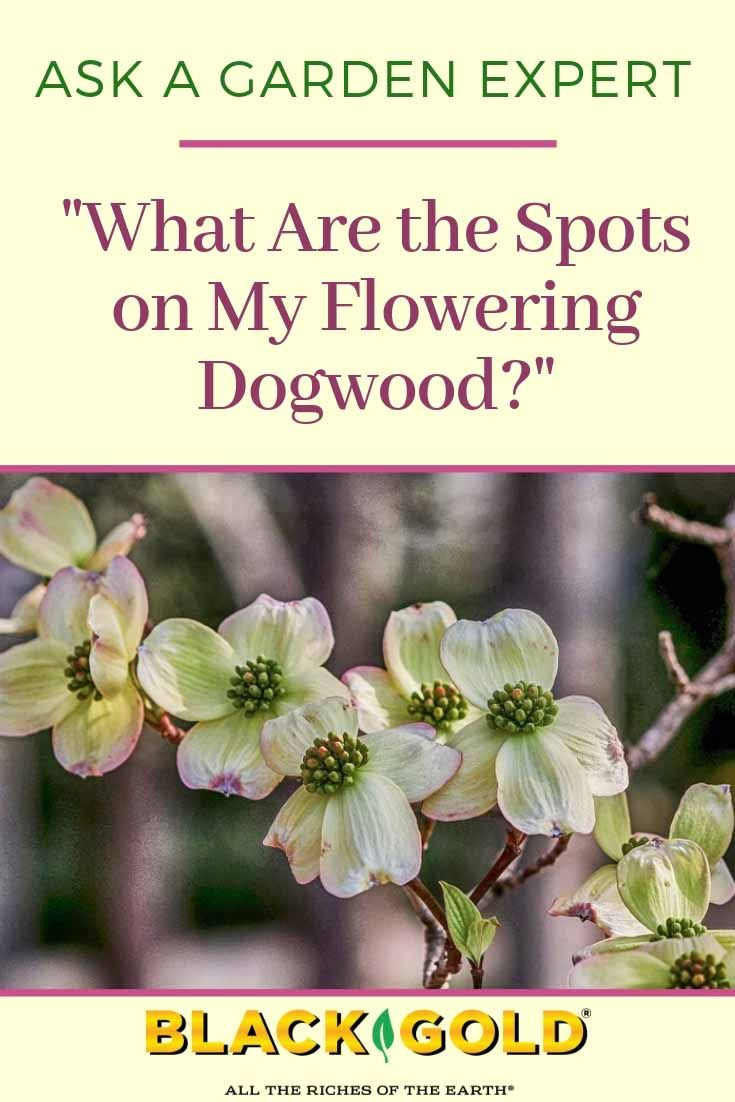 What Are the Spots on My Flowering Dogwood? Dogwood