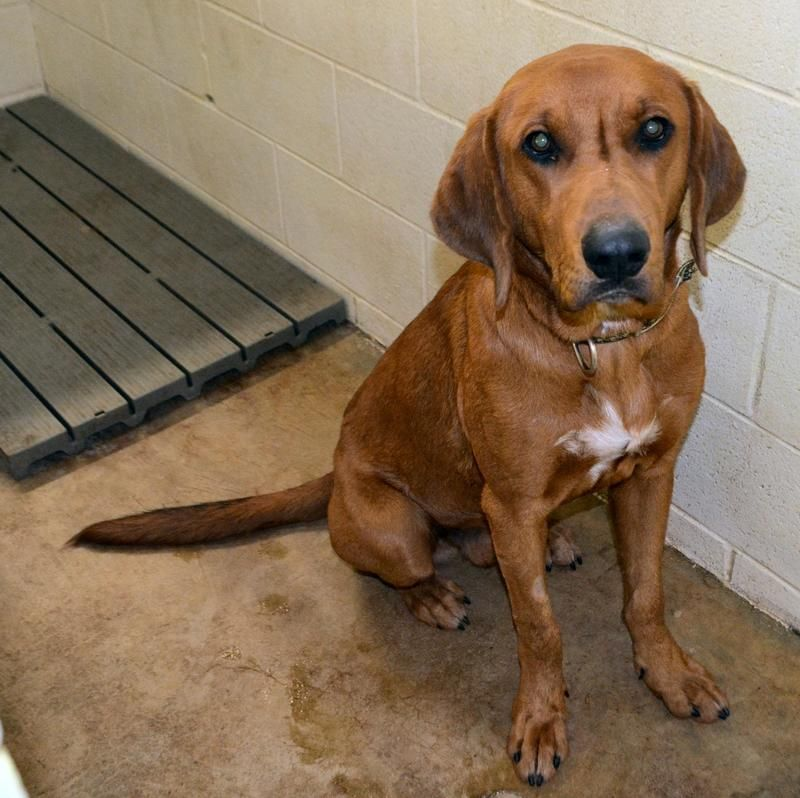 Tennessee Urgent Red Is A Hound Mix Our Shelter Is Always At Capacity All Animals Have Limited Time Don No Kill Animal Shelter Humane Society Red Bone