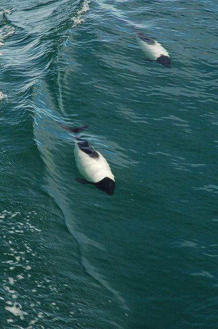 Commerson's Dolphins, an threatened species of dolphin, are found only off the southernmost coast of South America. Photo by Niall Corbet, via Flickr #Chile #nature