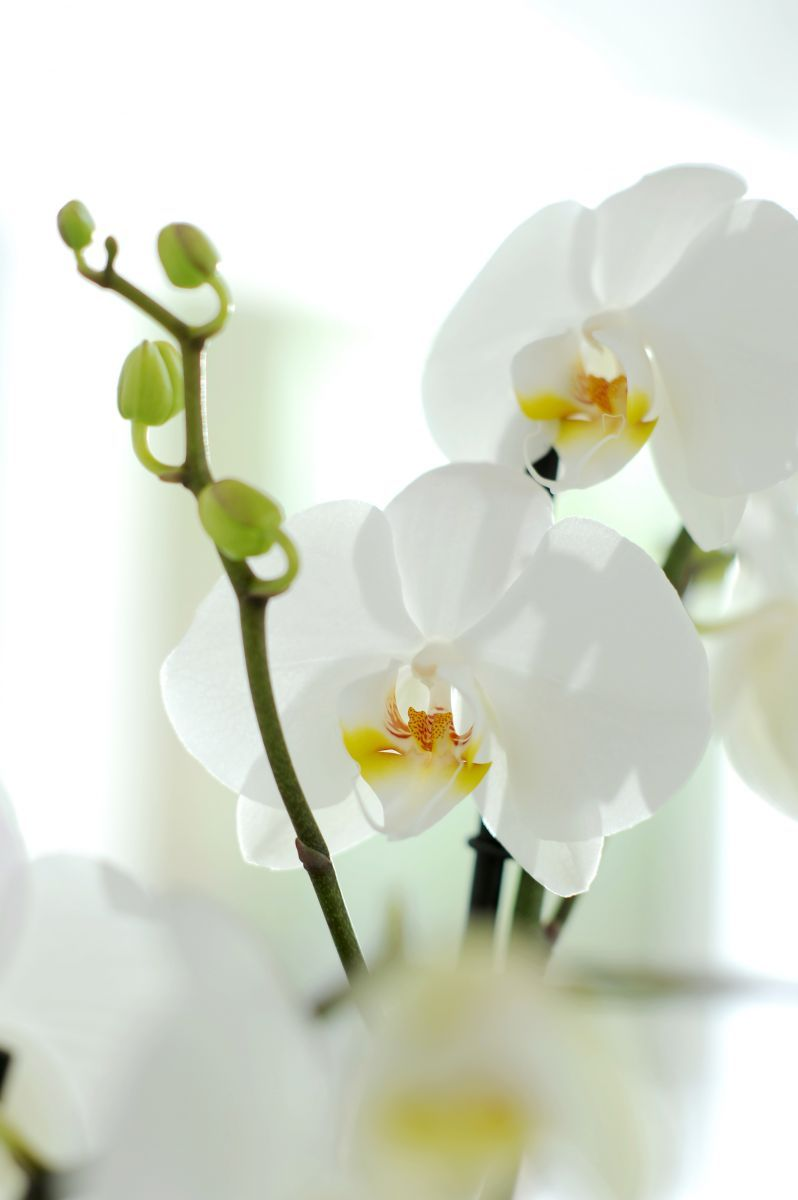 phalaenopsis orchidee orchidees pinterest orchid e. Black Bedroom Furniture Sets. Home Design Ideas