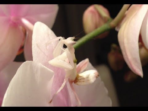 Orchid Mantis Imitation And Disguise Queensland Orchid