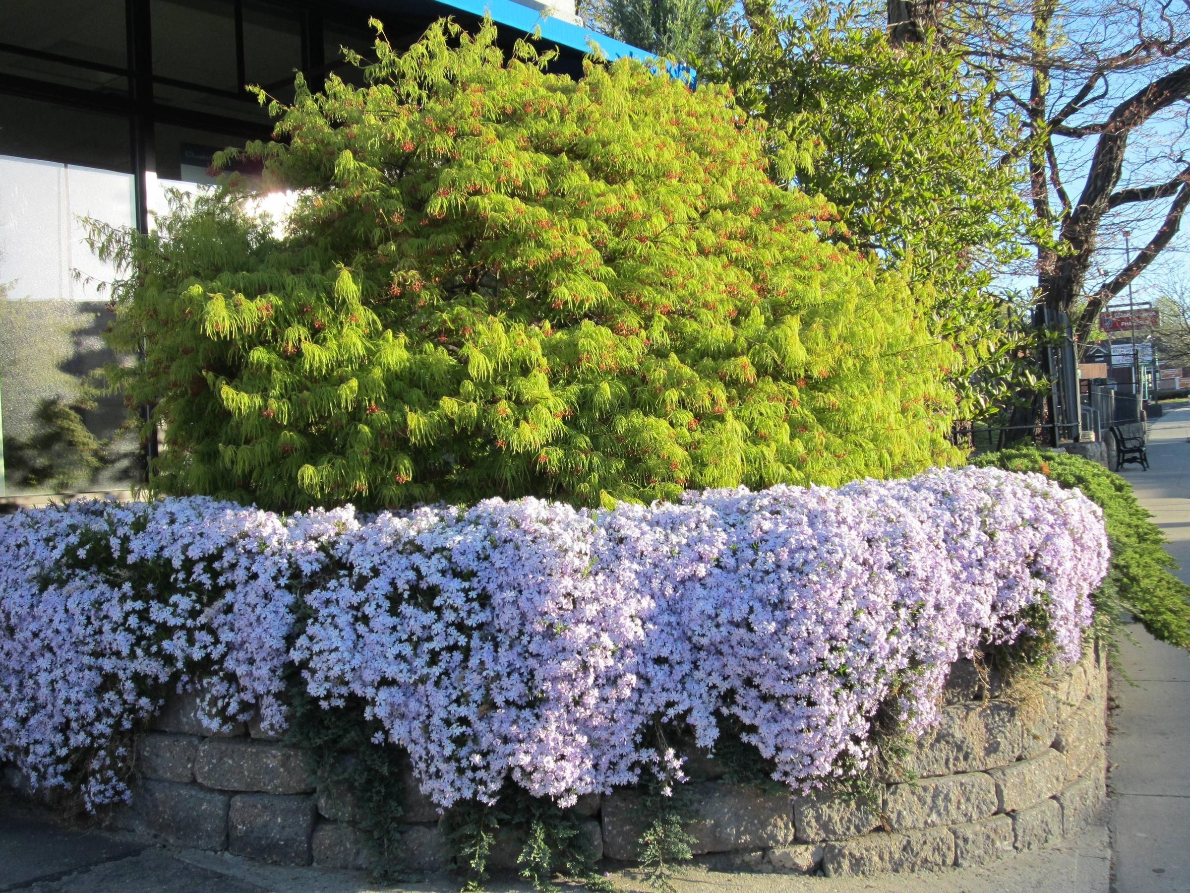 Creeping Phlox Loves To Be Planted In The Sun As