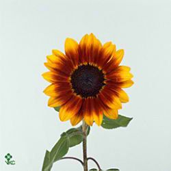 Sunflower Annuus Malka Length 65 Cm Add A Pop Of Colour To Your Flower Arrangements They Are Great For A Country Rustic Theme For Your Wedding Or Event Head
